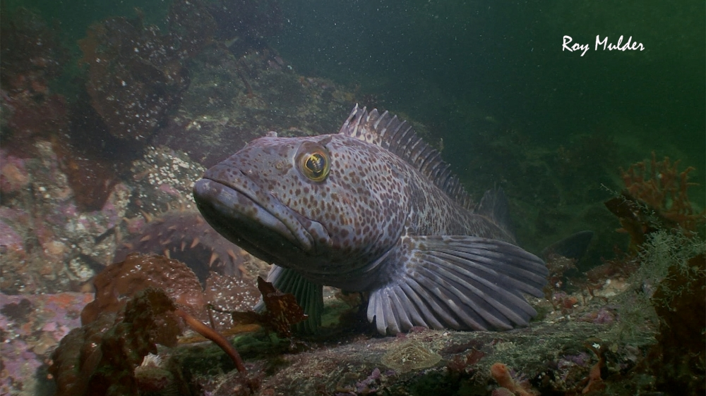 Lingcod (Ophiodon elongatus) in Howe Sound - Photo by Roy Mulder