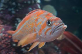 Canaray Rockfish
