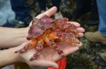 Puget Sound king crab  from 2013 Bowen Island Beach Interpretation program - Photo credit Roy Mulder