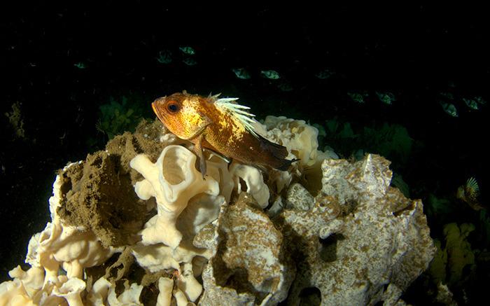 Quillback rockfish on sponge in Dorman Bay, Bowen Island