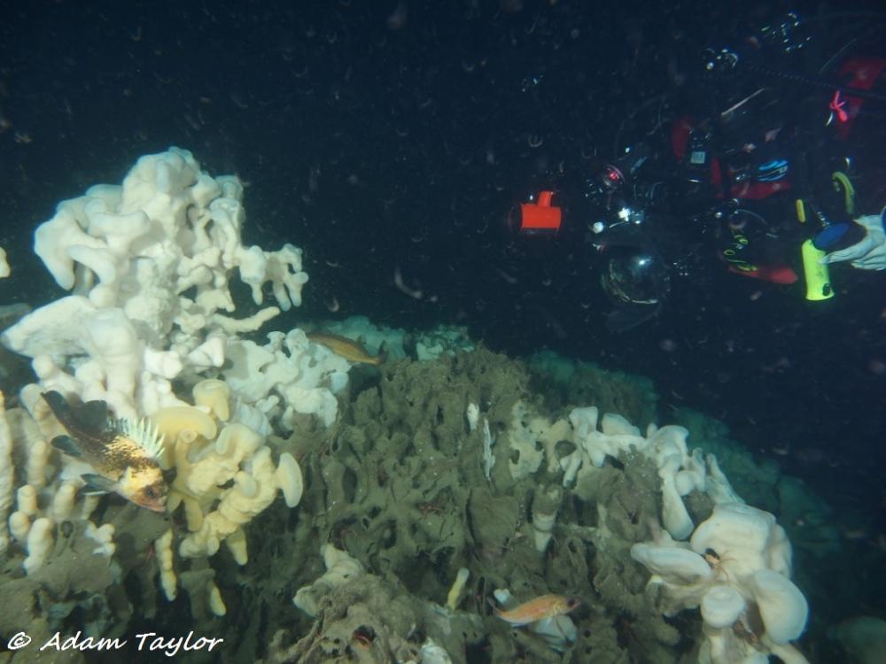 Quillback rockfish on a sponge Bioherm