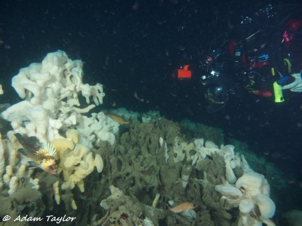 At least 3 of the sponge reefs in Howe Sound identified are diveable! Sponge reefs in Howe sound exist at depths of 90-160 feet, and are some of the only diveable sponge reefs in the world!