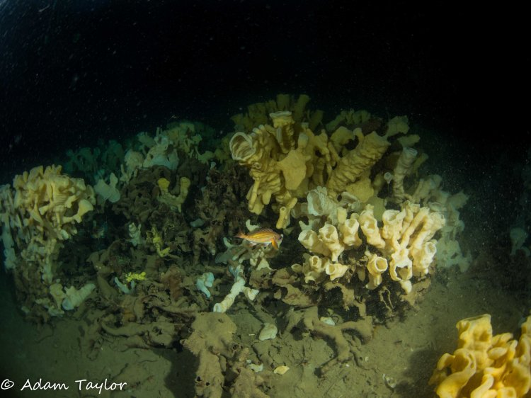 Glass sponge reef in Howe Sound with Puget Sound Rockfish. Photo: Adam Taylor