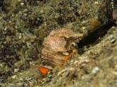 Grunt Sculpin - Photo Credit Adam Taylor
