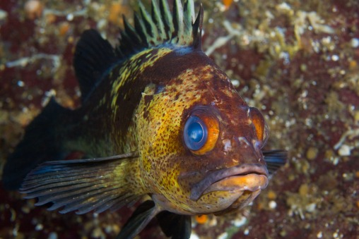 Quillback Rockfish-2